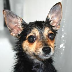 dog big ears 250w